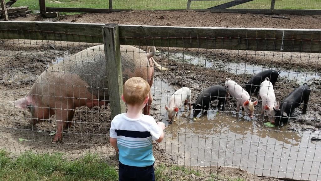 pigs II