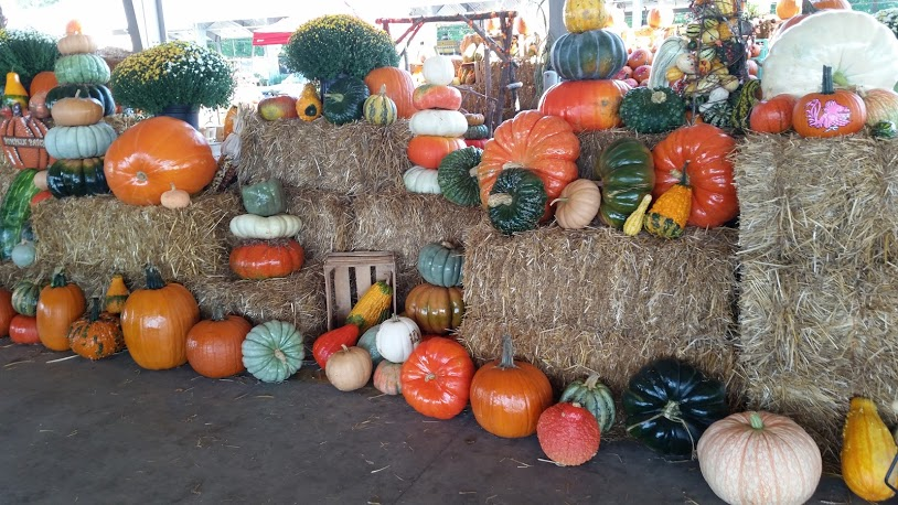 Lots of Pumpkins!